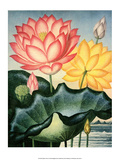 Botanical Print, The Sacred Egyptian Bean Art by Peter Charles Henderson