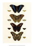 Blue Morphos Butterflies and Moths Prints by Albertus Seba