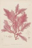 Delesseria Giclee Print by Henry Bradbury