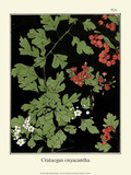 Botanical Print, Hawthorn, 1905 Prints by Luite Klaver