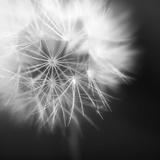 Dandelion Haze B+W Giclée-tryk af Andreas Stridsberg