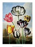 Botanical Print, Tulips Prints by Philip Reinagle