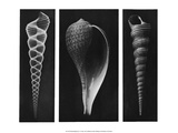 Shell Triptych Prints by J.B. Polak