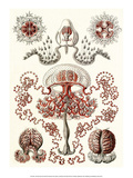 Art Forms of Nature, Anthomedusae Poster by Ernst Haeckel