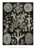 Art Forms of Nature, Lichenes Art by Ernst Haeckel