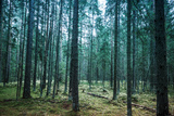 Dark Pine Tree Forest Landscape, Karelia, Russia Photographic Print by Eugene Sergeev