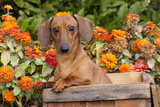 Portrait of Tan Mini Dachshund in Antique Wooden Box by Zinnias, Gurnee, Illinois, USA Photographic Print by Lynn M. Stone