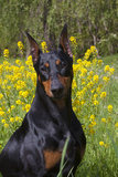 Doberman Pincher, Portrait, in Wild Mustard in Meadow, St. Charles, Illinois, USA Photographic Print by Lynn M. Stone