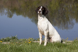English Springer Spaniel at Edge of Pond and Reflections of Spring Foliage, Harvard Photographic Print by Lynn M. Stone