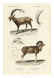 Antique Antelope & Ram Study Giclee Print by N. Remond