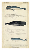 Antique Whale & Dolphin Study III Giclee Print by G. Henderson