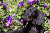Portrait of Smooth-Hair Dachshund Standing by Swale of Purple Garden Flowers, Monroe Photographic Print by Lynn M. Stone