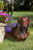 Smooth-Hair Dachshund on Grass by Flower Planter, Monroe, Connecticut Photographic Print by Lynn M. Stone