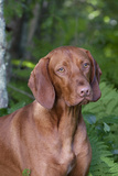Portrait of Vizsla Standing by Summer Vegetation, Marlborough, Connecticut, USA Photographic Print by Lynn M. Stone