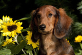 Mini Long-Hair Dachshund, Connecticut, USA Photographic Print by Lynn M. Stone