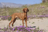 Vizsla Standing in Desert Spring Wildflowers, Mojave Desert, Southern California, USA Photographic Print by Lynn M. Stone