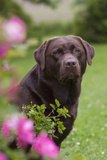 Chocolate Labrador Retriever (Portrait, Female) by Flowering Rose Bush, Lafox, Illinois, USA Photographic Print by Lynn M. Stone