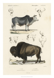 Antique Cow & Bison Study Giclee Print by N. Remond