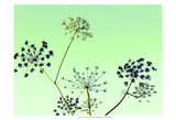 Cow Parsley II Posters by Lillian Bell