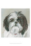 Payton Shih Tzu Prints by Edie Fagan