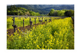 Yellow Mustard And Old Grapevines Photographic Print by George Oze