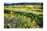 California Poppies In Napa Valley Photographic Print by George Oze