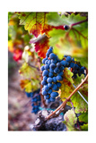 Napa Valley Fruit Photographic Print by George Oze