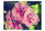 Pink Blossom II Prints by Lillian Bell