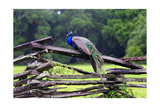 Peacock On A Fence Photographic Print by George Oze
