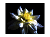 Waterlily Dahlia Photographic Print by George Oze