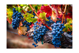 Bunch Of Blue Grapes On The Vine Photographic Print by George Oze