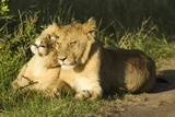 African Lion Cubs Photographic Print by Mary Ann McDonald