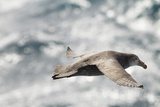 Southern Giant Petrel Photographic Print by Joe McDonald