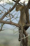 African Leopard Papier Photo par Mary Ann McDonald