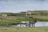 Burchell's Zebras Photographic Print by Sergio Pitamitz