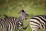 Zebra Face Photographic Print by Richard Du Toit