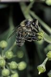 Apis Mellifera (Honey Bee) - Foraging on an Ivy Flower Photographic Print by Paul Starosta