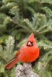 Nothern Cardinal Photographic Print by Gary Carter