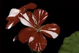 Pelargonium X Hortorum 'New Life' (Common Geranium, Garden Geranium, Zonal Geranium) Photographic Print by Paul Starosta