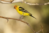 Western Tanager Photographic Print by Joe McDonald