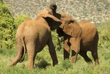 African Elephant Photographic Print by Mary Ann McDonald