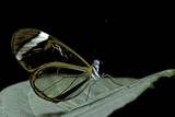 Greta Oto (Glasswinged Butterfly) Photographic Print by Paul Starosta