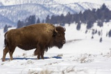 Bison Bison Photographic Print by Rob Tilley