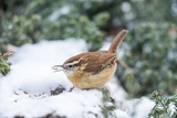 Carolina Wren Photographic Print by Gary Carter