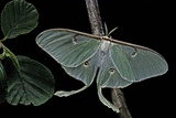 Actias Luna (Luna Moth) Photographic Print by Paul Starosta