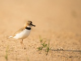 Collared Plover Photographic Print by Joe McDonald