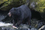 Black Bear Eating Fish in Stream Reproduction photographique par  DLILLC