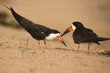 Black Skimmer Photographic Print by Joe McDonald