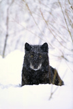 Gray Wolf Waiting in Snow Fotografisk trykk av  DLILLC