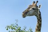 Giraffe Feeding, Chobe National Park, Botswana Photographic Print by Paul Souders